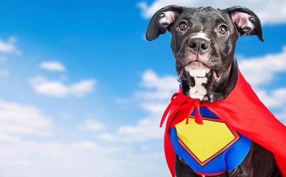 Cão de serviço se joga na frente de ônibus para salvar sua humana