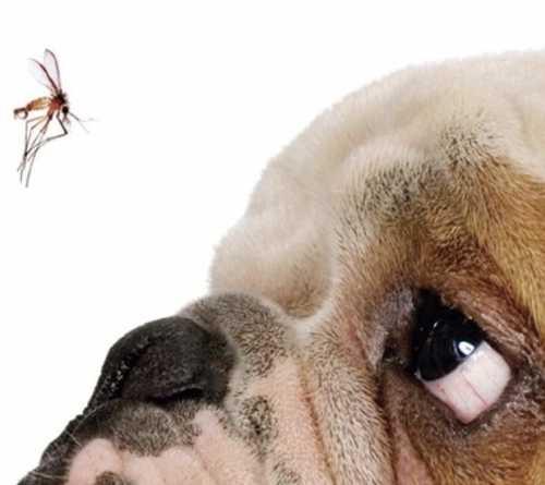 Doença com potencial letal e de difícil cura, Leishmaniose chega a São Paulo e requer cuidados com os cães
